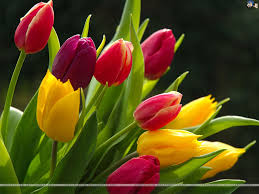 Spring Plants: Tulips