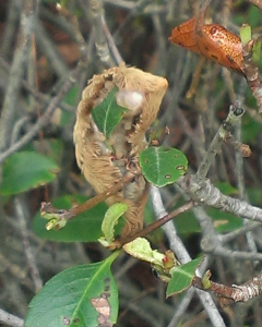 Photo of Puss Caterpillar by Wrightsville Beach Landscaping